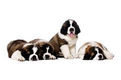 Cuccioli di St Bernard isolati su bianco Immagini Stock Libere da Diritti