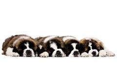 Cuccioli di St Bernard isolati su bianco Fotografia Stock Libera da Diritti