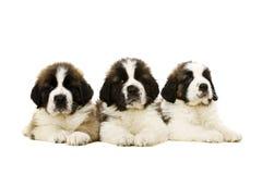 Cuccioli di St Bernard isolati su bianco Fotografie Stock Libere da Diritti