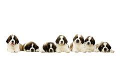 Cuccioli di St Bernard isolati su bianco Immagine Stock