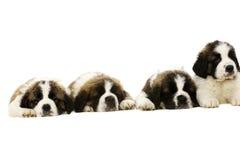 Cuccioli di St Bernard isolati su bianco Immagine Stock Libera da Diritti
