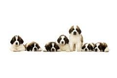 Cuccioli di St Bernard isolati su bianco Immagini Stock