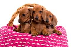 Cuccioli di Teckel Immagine Stock