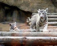 Cuccioli di tigre bianchi Immagini Stock