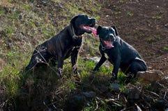 Cuccioli di un anno sulla passeggiata Fotografia Stock Libera da Diritti