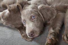 Cuccioli di Weimaraner Immagine Stock