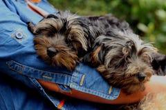 Cuccioli di Yorkiepoo fotografia stock