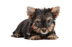 Cuccioli di Yorkshire Immagine Stock