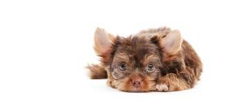 Cuccioli di Yorkshire Fotografia Stock Libera da Diritti