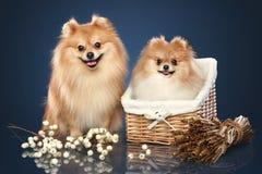 Cuccioli divertenti dello Spitz in cestino fotografia stock