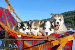 Cuccioli dolci del husky Fotografia Stock Libera da Diritti