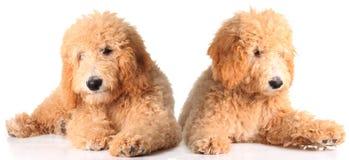 Cuccioli dorati di doodle Immagini Stock Libere da Diritti