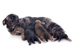Cuccioli e chihuahua della madre Immagini Stock Libere da Diritti
