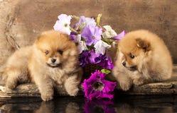 Cuccioli e fiori dello Spitz Fotografie Stock Libere da Diritti