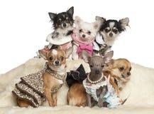 Cuccioli ed adulti della chihuahua nella seduta dei vestiti Immagini Stock Libere da Diritti