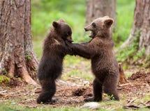 Cuccioli euroasiatici dell'orso bruno (arctos di Ursos) Immagini Stock Libere da Diritti