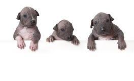 Cuccioli glabri del xoloitzcuintle Fotografie Stock