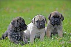 Cuccioli inglesi del mastino Fotografia Stock
