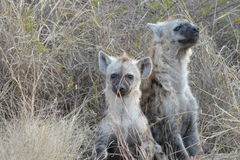 Cuccioli macchiati dell'iena fotografia stock