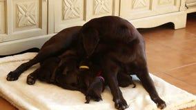 Cuccioli marroni di cura di labrador con sua madre stock footage