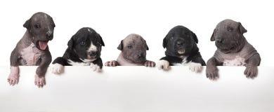 Cuccioli messicani del xoloitzcuintle Immagini Stock