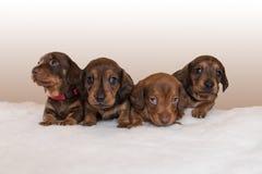 Cuccioli miniatura del bassotto tedesco sulla coperta bianca lanuginosa Fotografia Stock
