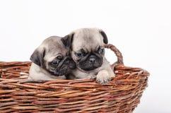 Cuccioli nell'amore immagine stock libera da diritti