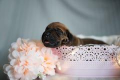 Cuccioli neonati del piccolo ridgeback sveglio Fotografie Stock
