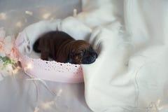 Cuccioli neonati del piccolo ridgeback sveglio Fotografie Stock Libere da Diritti
