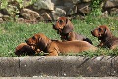 Cuccioli piacevoli del bassotto tedesco che risiedono nel giardino Immagini Stock