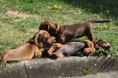 Cuccioli piacevoli del bassotto tedesco che risiedono nel giardino Fotografia Stock Libera da Diritti