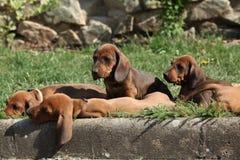 Cuccioli piacevoli del bassotto tedesco che risiedono nel giardino Fotografie Stock