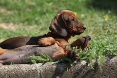 Cuccioli piacevoli del bassotto tedesco che risiedono nel giardino Fotografie Stock Libere da Diritti