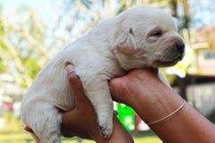 Cuccioli presi di labrador - vecchio tre settimane. Fotografie Stock