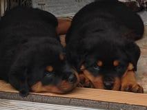Cuccioli sonnolenti di Rottweiler Immagine Stock