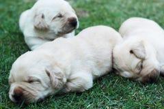 Cuccioli su erba verde - vecchio tre settimane di sonno labrador. Immagine Stock