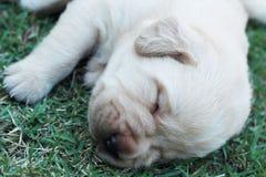 Cuccioli su erba verde - vecchio tre settimane di sonno labrador. Fotografie Stock
