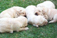 Cuccioli su erba verde - vecchio tre settimane di sonno labrador. Immagini Stock