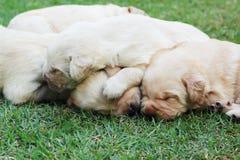 Cuccioli su erba verde - vecchio tre settimane di sonno labrador. Fotografie Stock Libere da Diritti