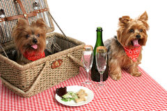 Cuccioli sul picnic Fotografia Stock Libera da Diritti