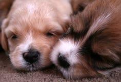 Cuccioli svegli Fotografia Stock