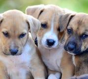 Cuccioli svegli del amstaff Immagini Stock