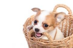 Cuccioli svegli della chihuahua Immagine Stock Libera da Diritti