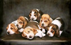 Cuccioli tristi della razza di Basset Hound Fotografia Stock