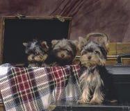 3 cuccioli Yorkshire Fotografia Stock