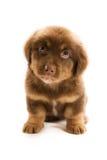 Cucciolo Immagine Stock