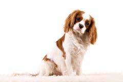 Cucciolo Immagine Stock Libera da Diritti