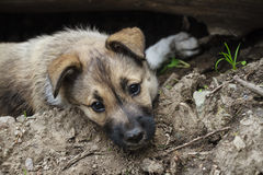 Cucciolo Fotografia Stock Libera da Diritti