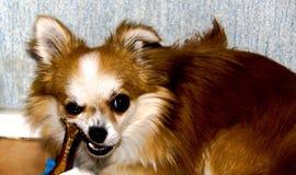 Cucciolo Fotografia Stock