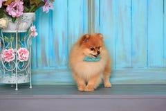 Cucciolo abbastanza pomeranian che si siede sul pavimento di legno Fotografie Stock Libere da Diritti